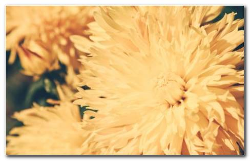 Chrysanthemum Flower Images HD Wallpaper