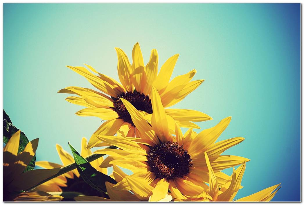 Cool Sunflower Nature Wallpaper Background Image Widescreen