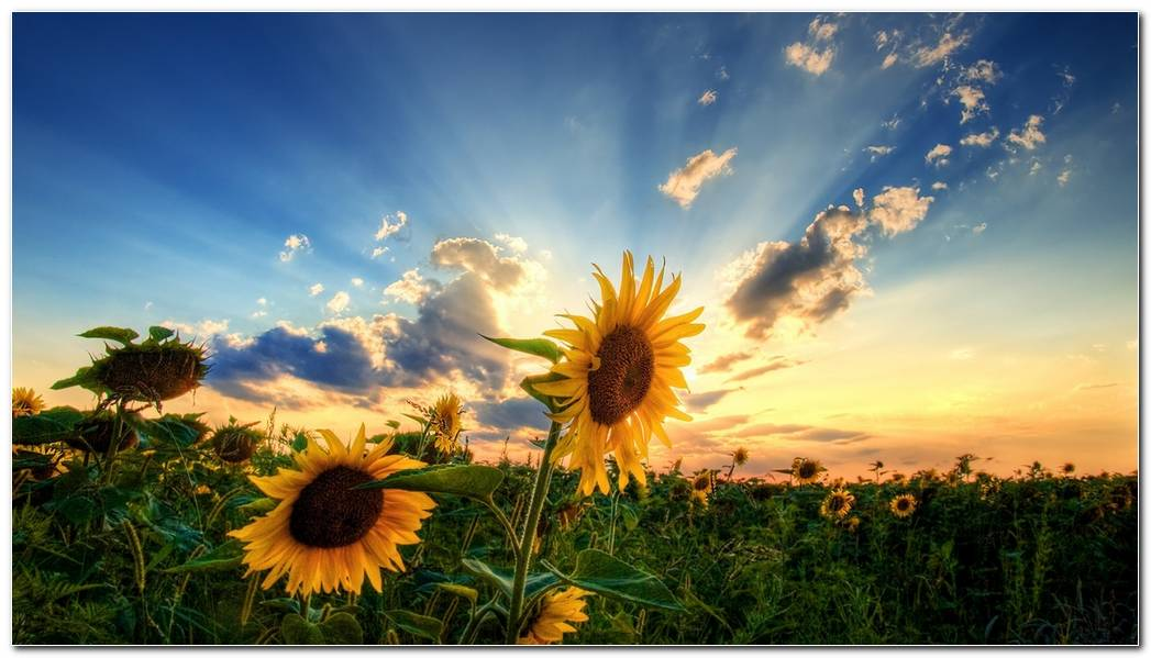 Cool Sunflower Nature Wallpaper Background