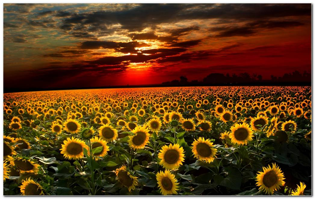 Cool Sunflower Nature Wallpaper Image Background
