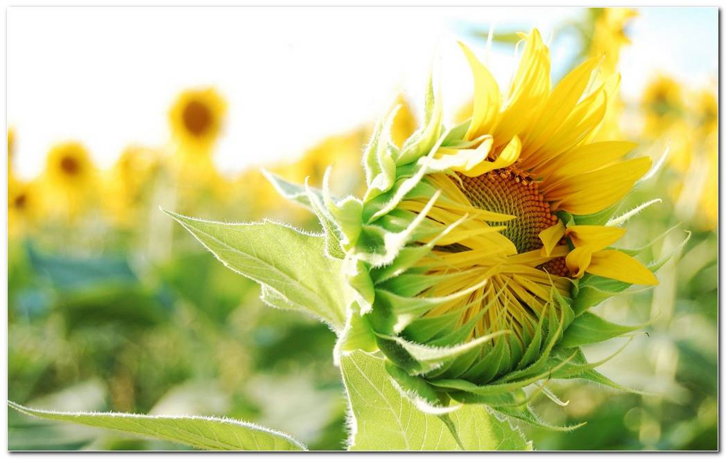 Cool Sunflower Nature Wallpaper Picture Background