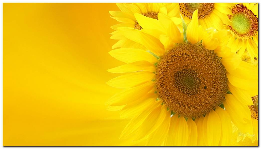 Cool Sunflower Nature Wallpaper Wide Background