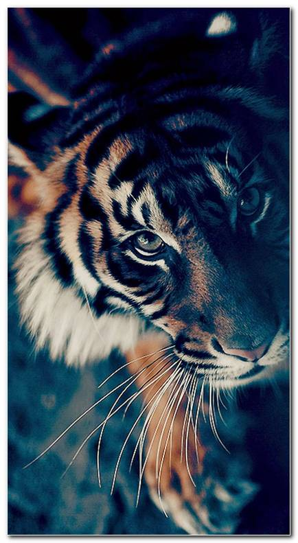 Cool Tiger Photo iPhone 7 Wallpaper