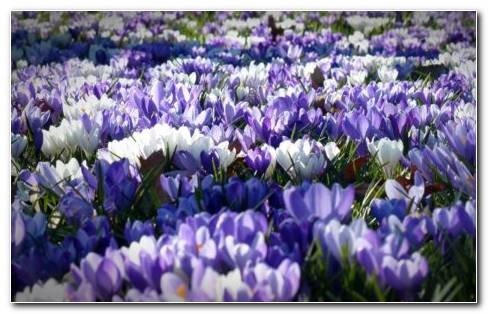 Crocus Group HD Wallpaper