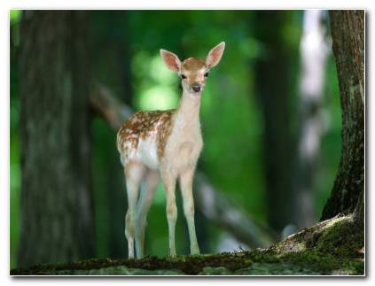 Cute Fawn HD Wallpaper