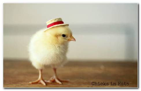 Cute Chick With A Hat Wallpaper