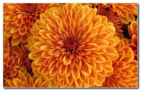 Dahlia Orange HD Wallpaper