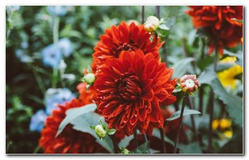 Dahlias garden HD wallpaper
