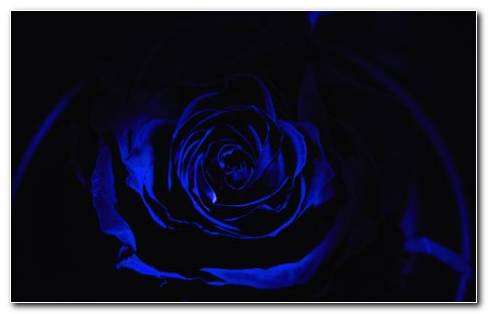 Dark Rose HD Wallpaper