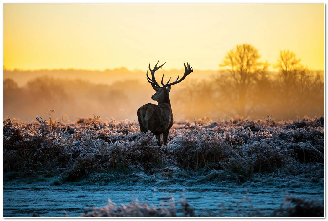 Deer Forest Nature Animal Wallpaper