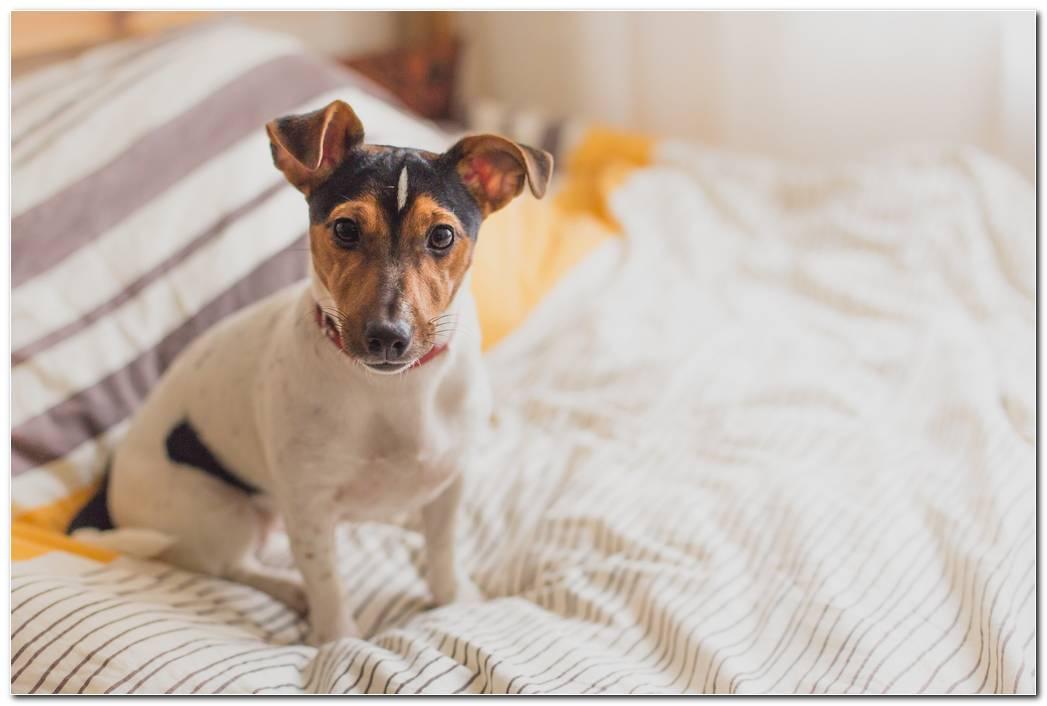 Dog On Bed Animal Wallpaper
