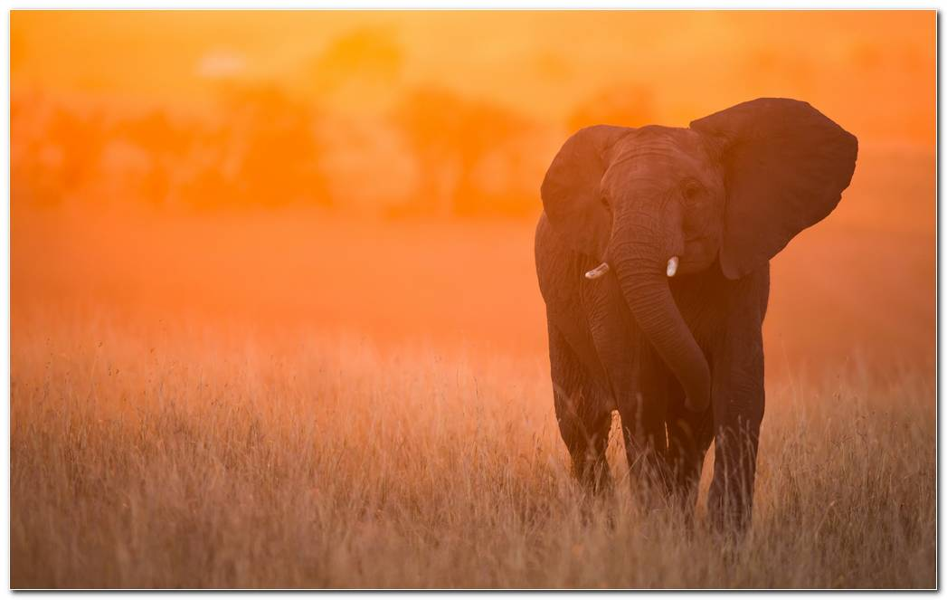 Elephant In Sunset Wallpaper Hd