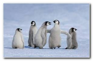 Emperor Penguin Chicks In Antarctica Jan VermeerMinden Pictures Bing United States .jpg