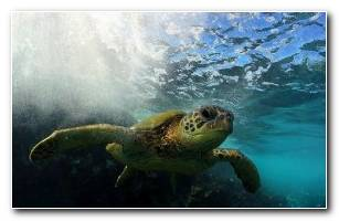 Flying Honu 1600x1200
