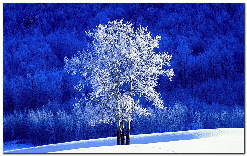Frosted Aspen Tree Standing In A Snow Covered Meadow British Columbia Canada