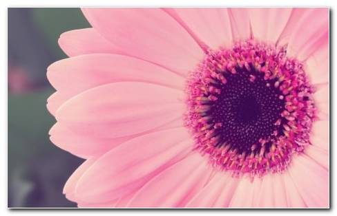 Gerbera HD Wallpaper