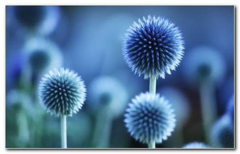 Globe Thistle HD Wallpaper