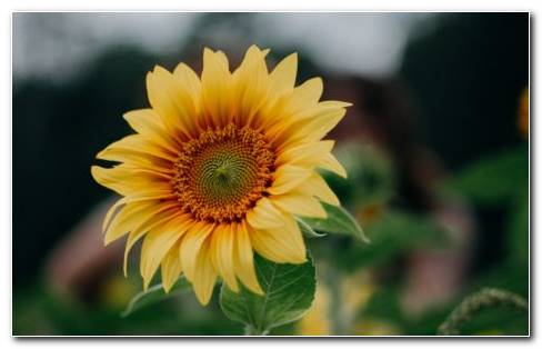 Helianthus Annuus HD Wallpaper New