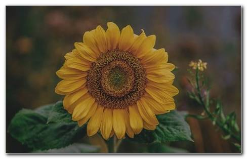 Helianthus Annuus HD Wallpaper