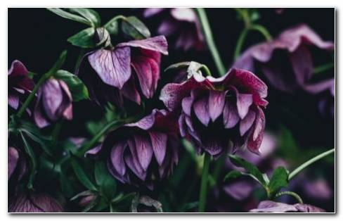 Hellebore Care HD Wallpaper