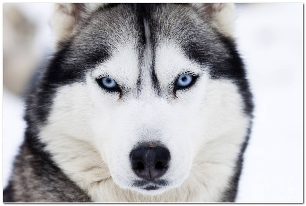 Husky Dog Animal Wallpaper