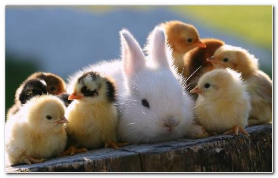 Image Baby Rabbits Water Bird Cuteness Duck Infant