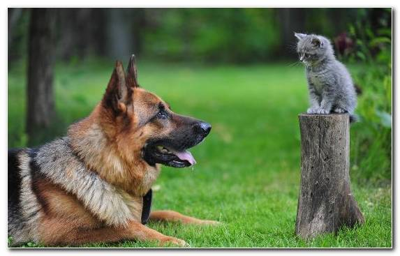 Image German Shepherd Cat Dog Breed Group Old German Shepherd Dog Grass