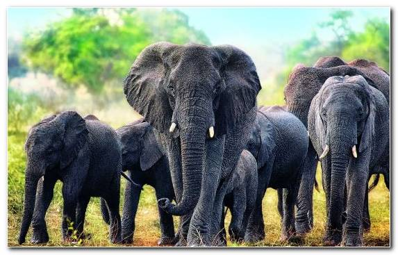 Image Jigsaw Puzzles Indian Elephant Wildlife Elephants And Mammoths Lion