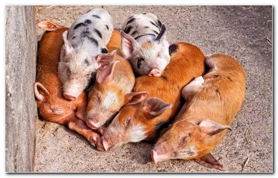 Image Man Livestock Sales Snout Pig