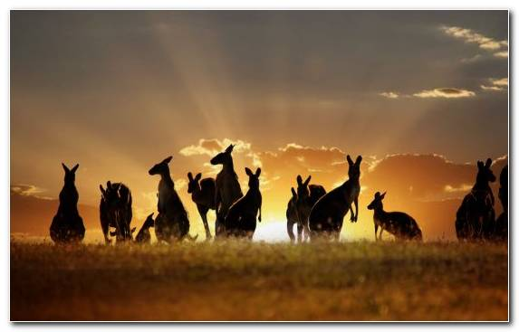 Image Roo Travel Grazing Koala Sunlight