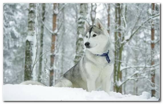 Image Siberian Husky Alaskan Husky Puppy Dog Like Mammal Dog