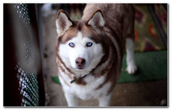 Image Siberian Husky dog breed dog breed group husky sled dog