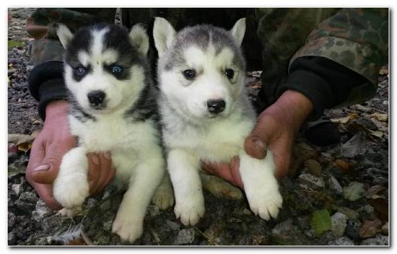 Image Siberian Husky Dog Canadian Eskimo Dog West Siberian Laika Tamaskan Dog