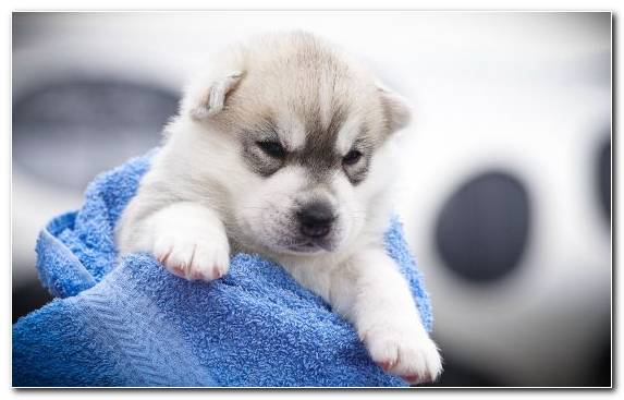 Image Siberian Husky dog dachshund kitten dog breed