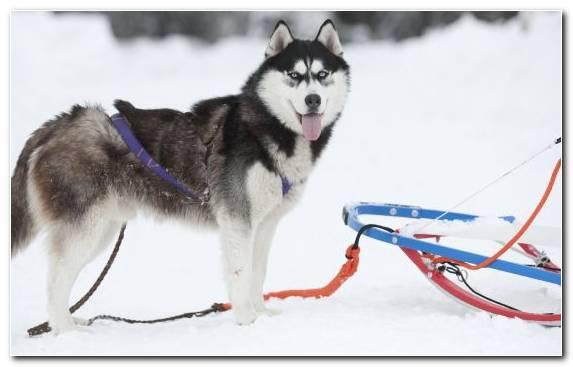 Image Siberian Husky Dog Like Mammal Animal Greenland Dog Sakhalin Husky