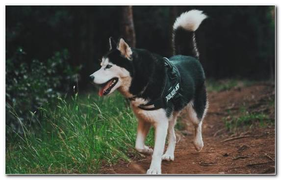 Image Siberian Husky Dog Like Mammal Sakhalin Husky Dog The Siberian Husky