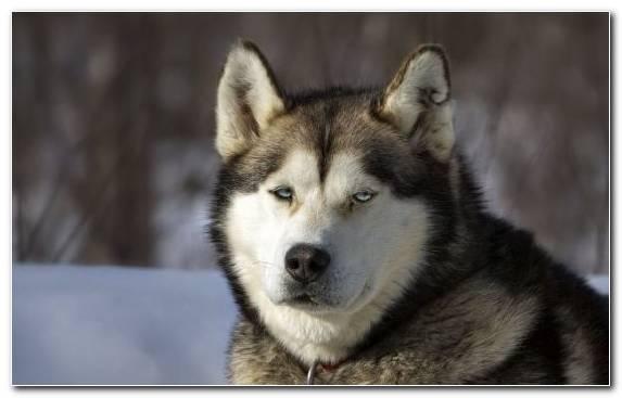 Image Siberian Husky husky alaskan malamute dog like mammal sakhalin husky