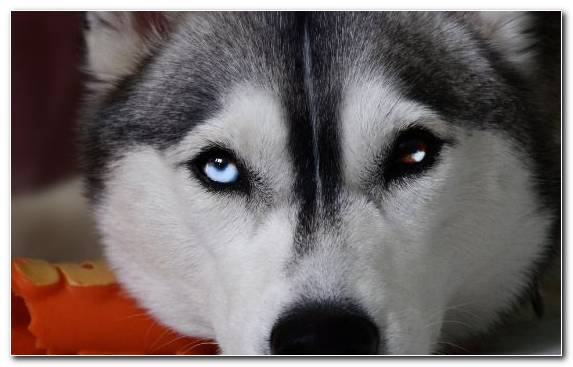Image Siberian Husky Puppy Seppala Siberian Sleddog Canadian Eskimo Dog Dog Breed Group