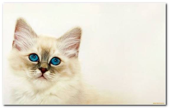 Image Aegean Cat Birman Cat Ragdoll Ragamuffin Cat