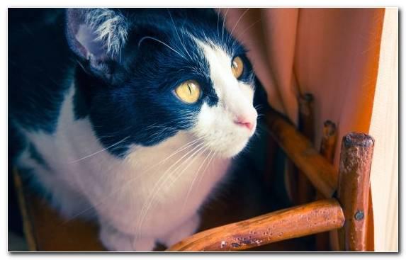 Image Aegean Cat Tiger Kitten