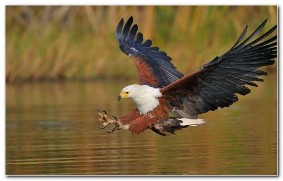 Image Africa Oryol Bird Of Prey Accipitriformes Eagle