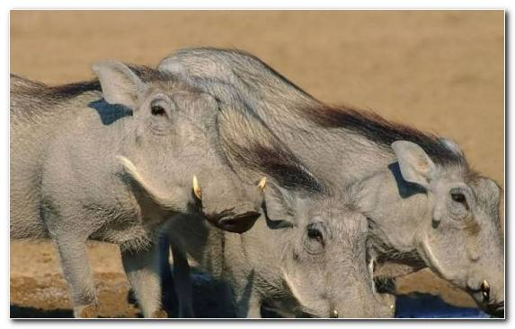 Image Africa Terrestrial Animal Snout Pig Nature