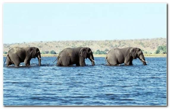 Image African Bush Elephant Terrestrial Animal Indian Elephant African Elephant Elephant