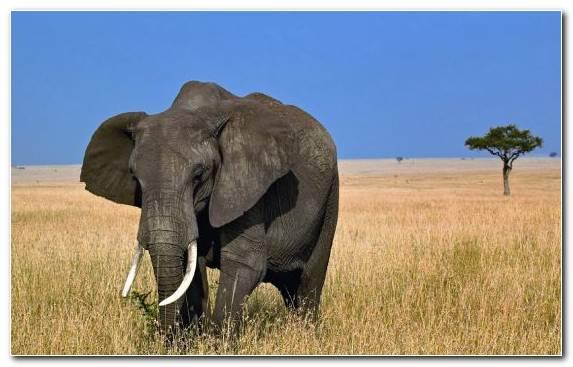 Image African Elephant Elephants And Mammoths African Forest Elephant Savanna Wildlife