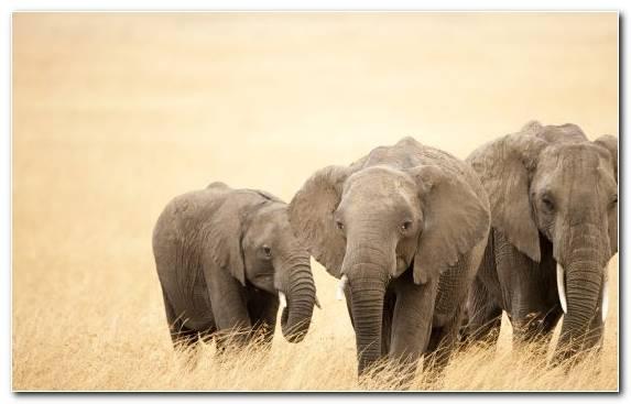 Image African Elephant Mammal Fauna Elephant Indian Elephant   Copy