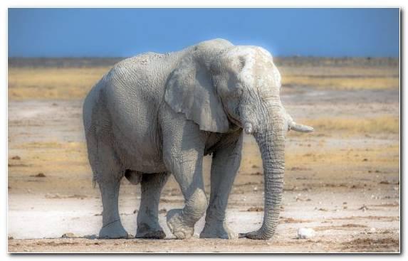 Image African Elephant Safari Wildlife Terrestrial Animal Elephants And Mammoths