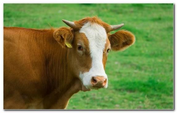 Image Agriculture Snout Grasses Horn Livestock