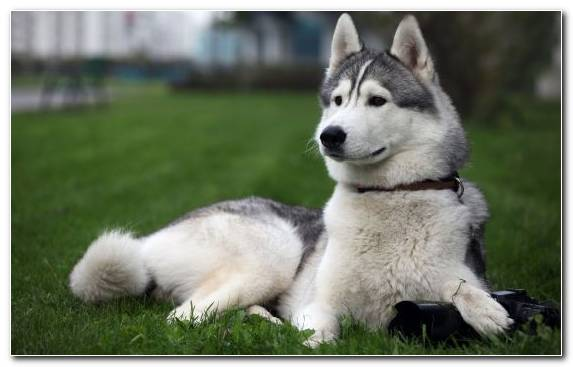 Image Alaskan Husky Sakhalin Husky Siberian Husky Dog Breed Group Puppy