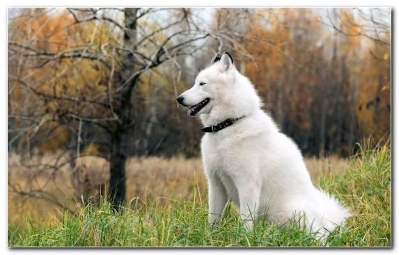 Image Alaskan Husky Sakhalin Husky Samoyed Dog Canaan Dog Puppy