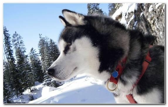 Image Alaskan Husky Sled Dog Sakhalin Husky Alaskan Malamute Sled Dog Racing